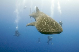 Bob on whale shark dive in Belize